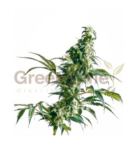 MEXICAN SATIVA CLASSIC REDUX SERIES SENSI SEEDS
