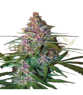 Critical Purple Autofloreciente