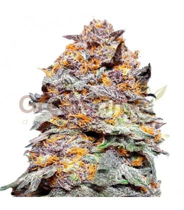 Purple Punch Autofloreciente